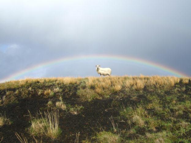 Island, Ziege, Regenbogen
